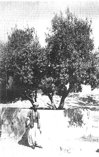 Факир Али у оливковой рощи